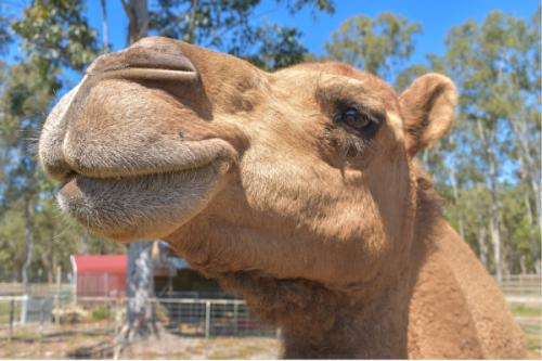 Gypsy the Camel